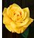 rose_50